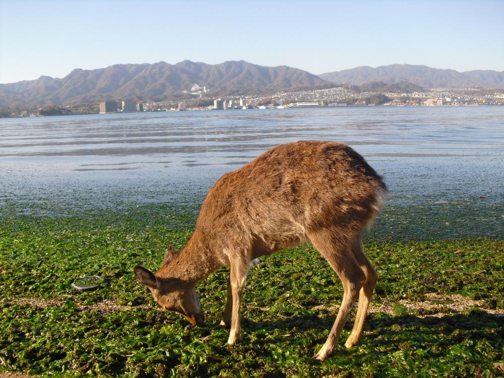 Otoctone Ile de Miyajima