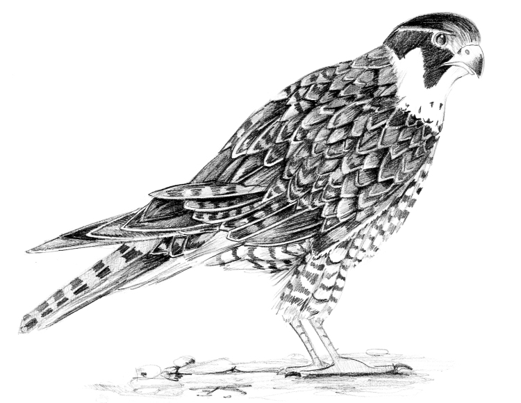 Faucon- Crayonné 45mn - Muséum national d'histoire naturelle